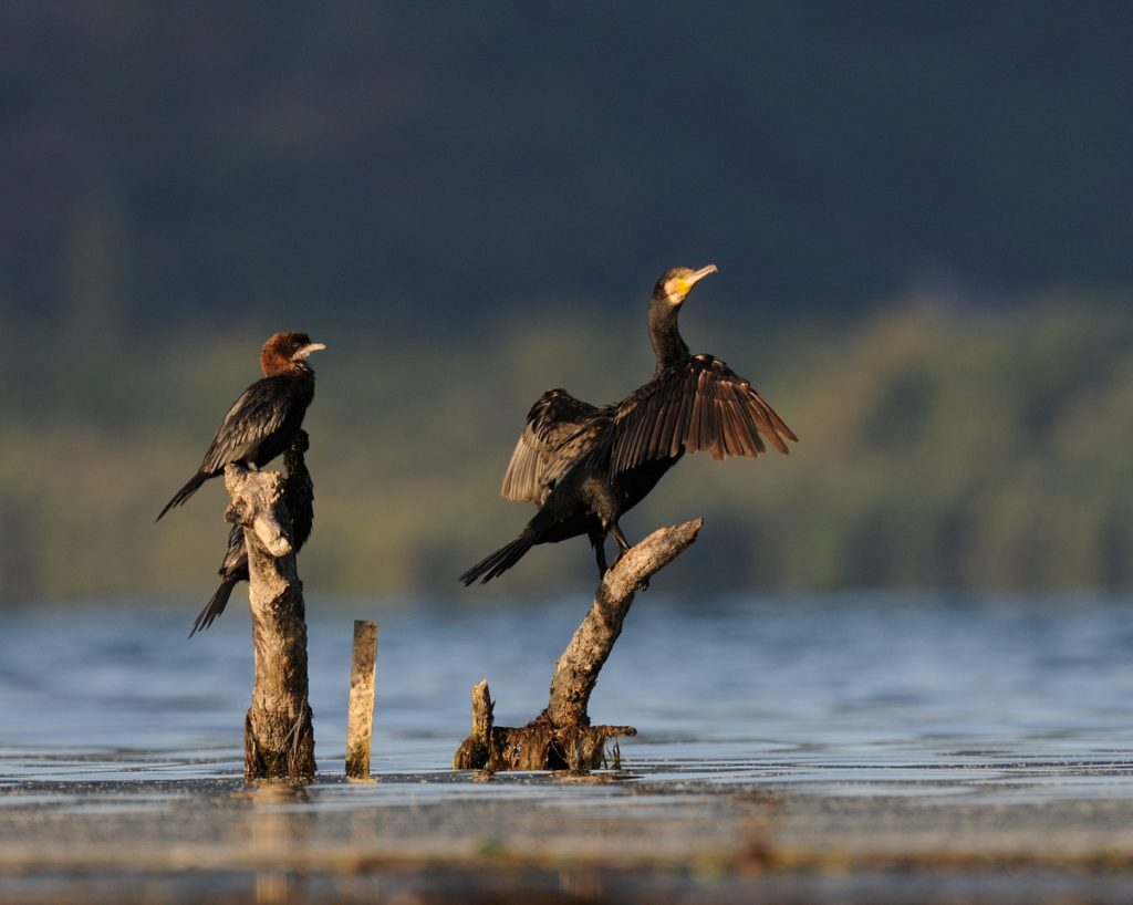 Ornithological reserve Skadar lake
