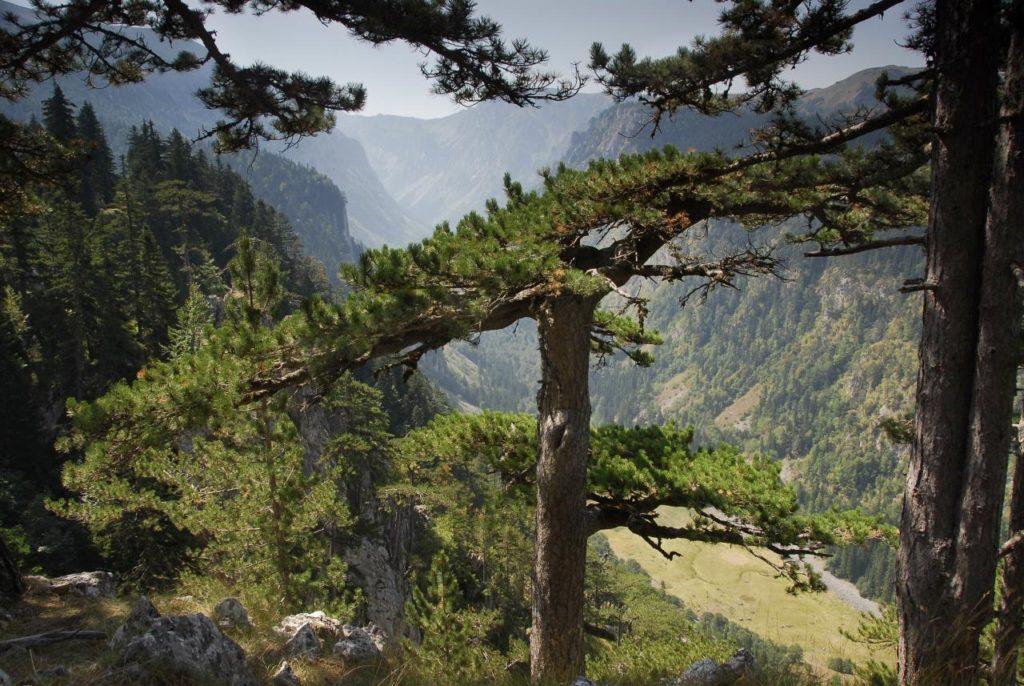 dense pine forests - crna poda montenegro