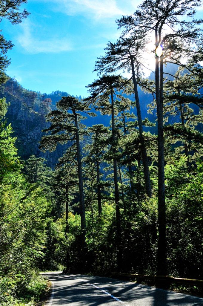 Durmitor - Pine forest