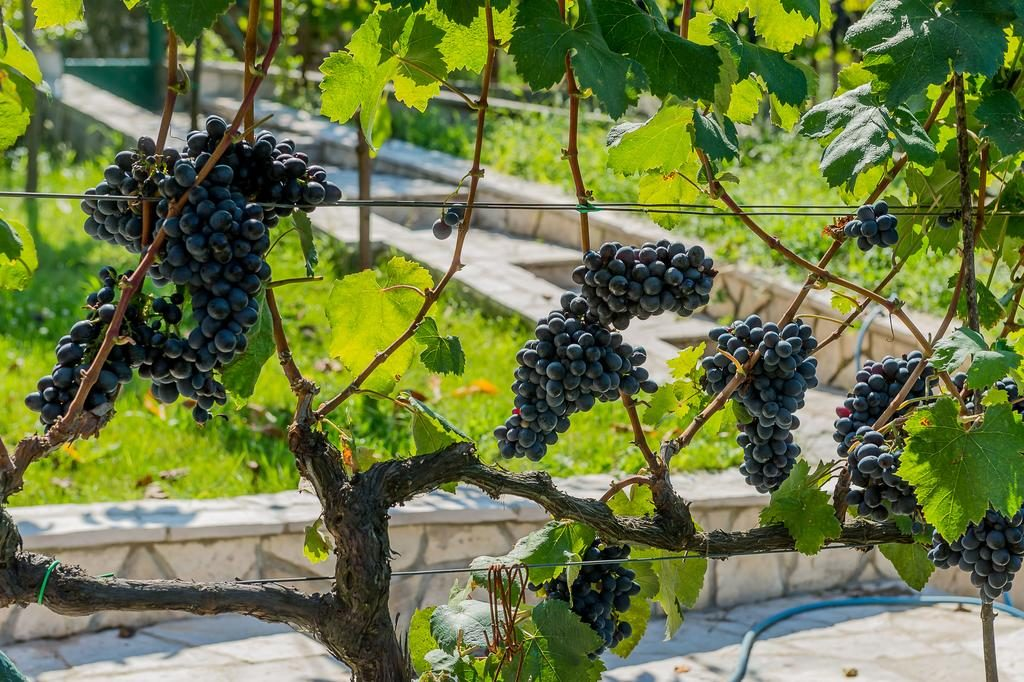 grapes in montenegro