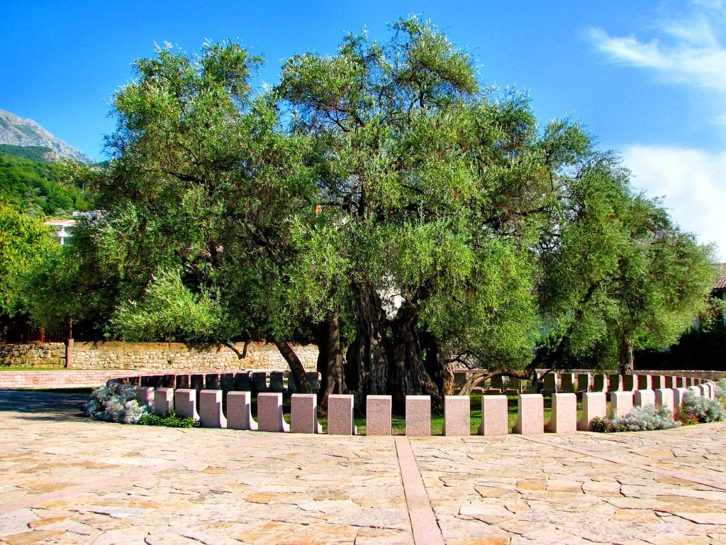 Mirovica, Bar - Old Olive Tree