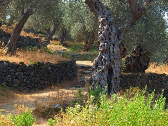 olive grove ulcinj - montenegro