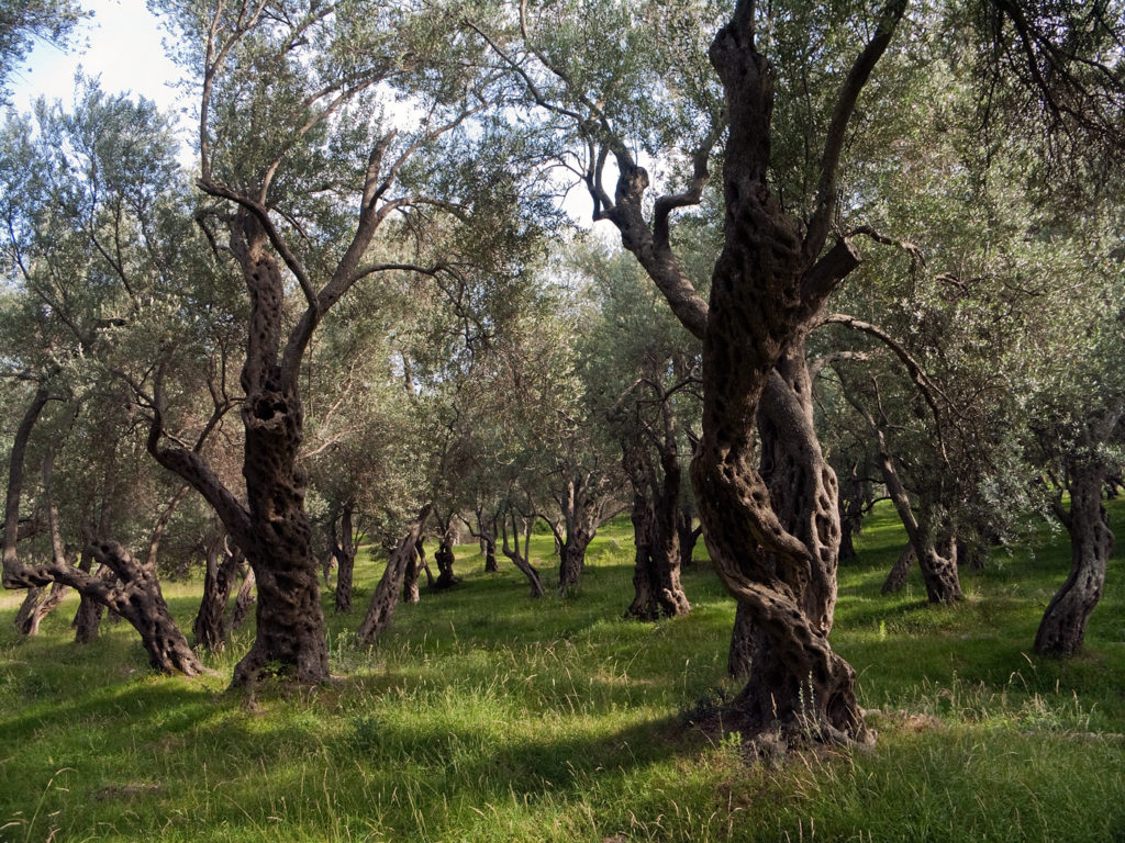 Valdanos Bay - Olive Trees