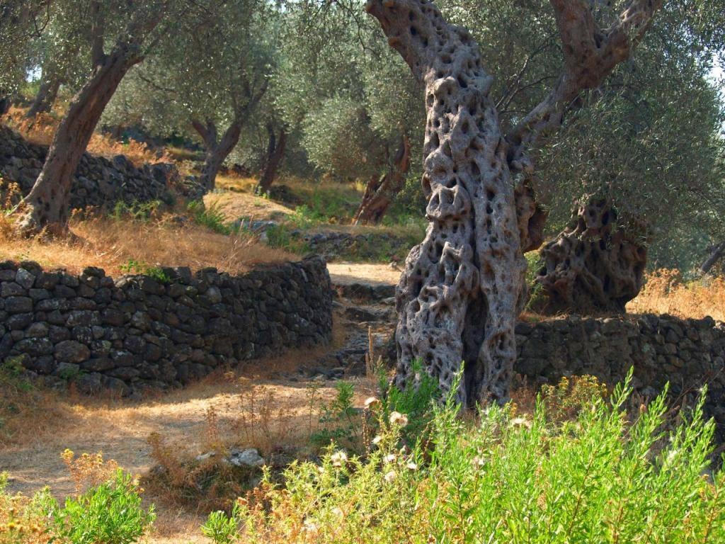 Olive groves - Montenegro