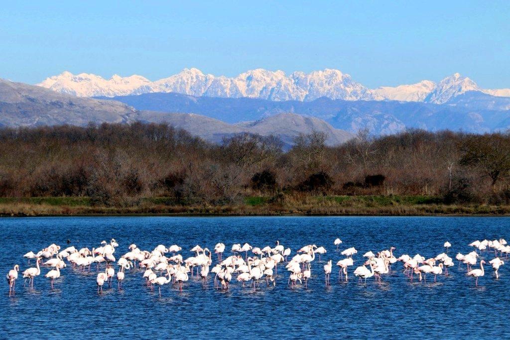 Saline Ulcinj - Flamingos