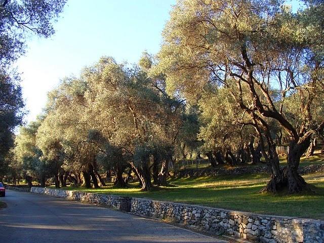 Olive grove in Valdanos