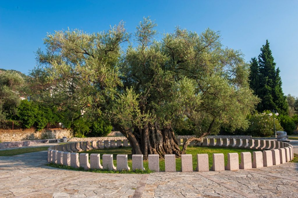 Old Olive Tree in Bar