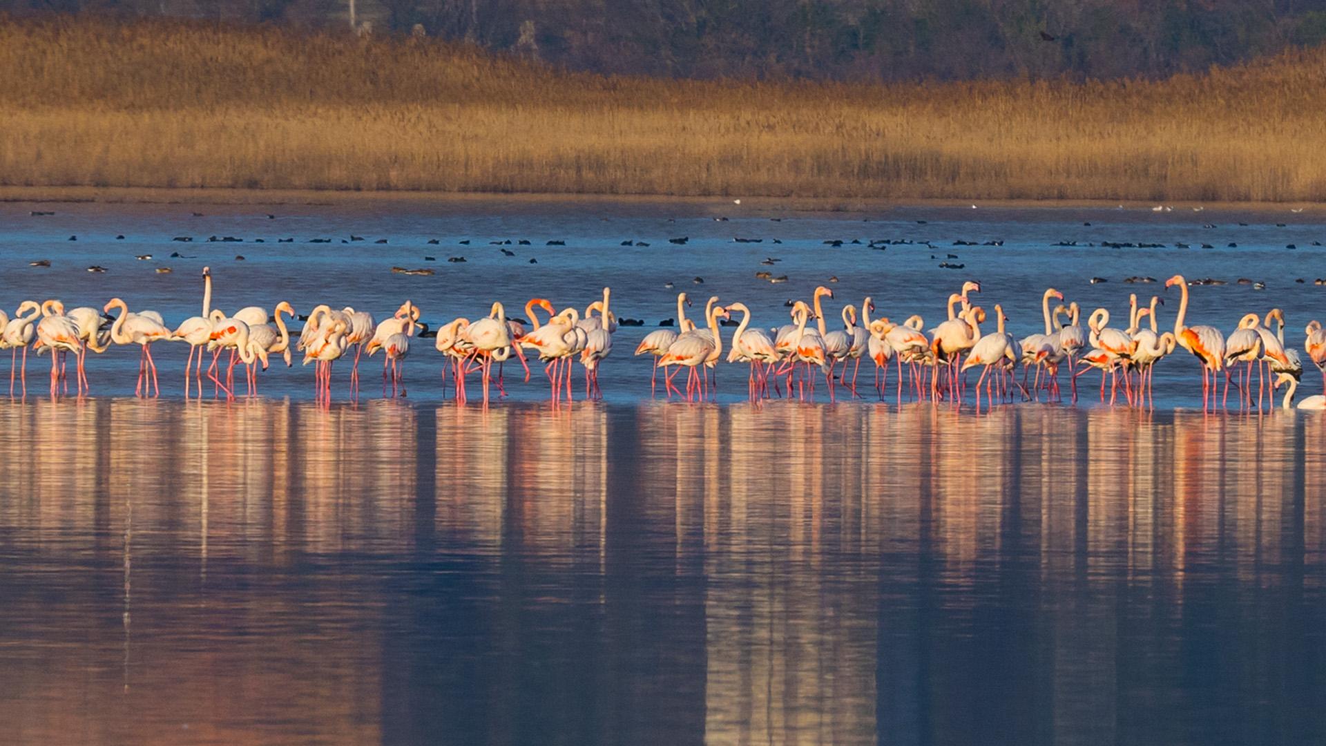 the greater flamingo in ulcinj salinas